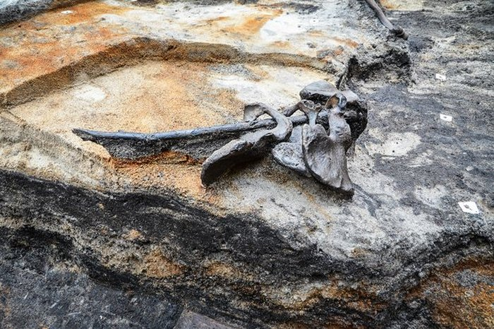 Четыре тазовые кости, найденные в Алкен Энге.   Фото: cas.au.dk.